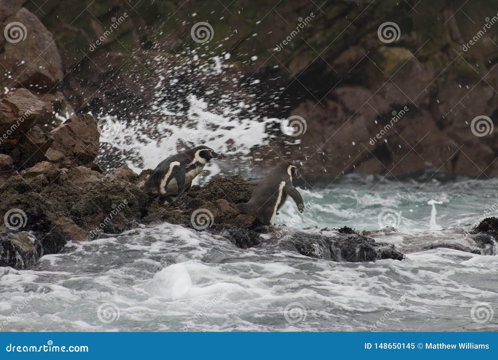 企鹅在南美洲为游泳做准备
