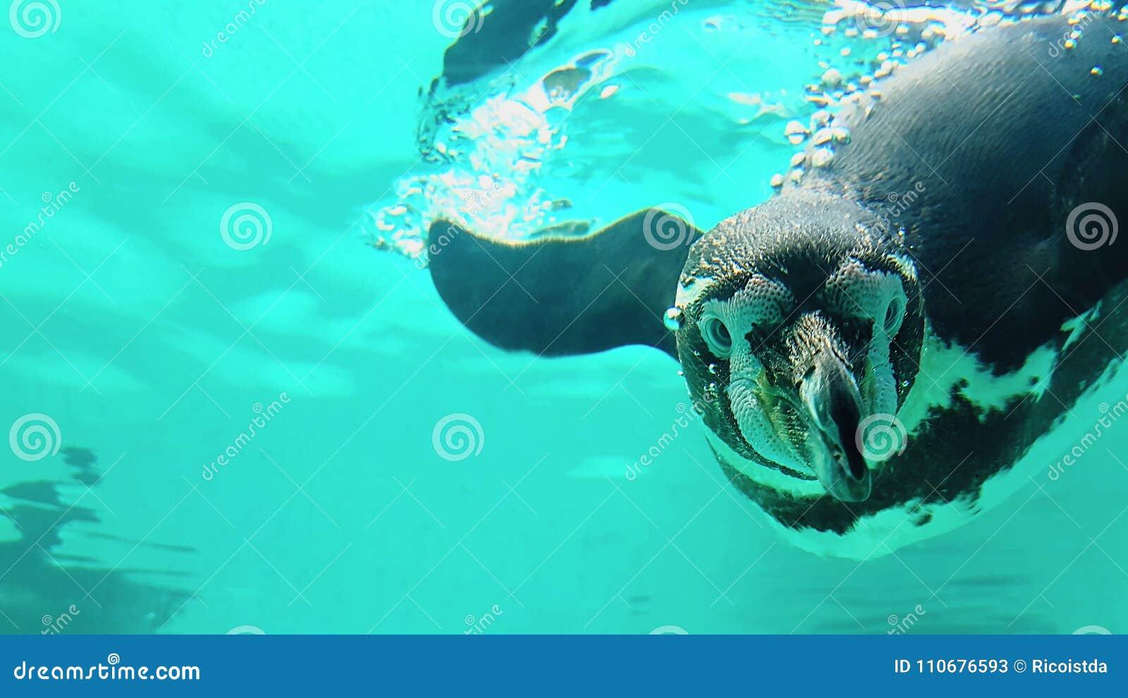 企鹅在野生动物园潜水