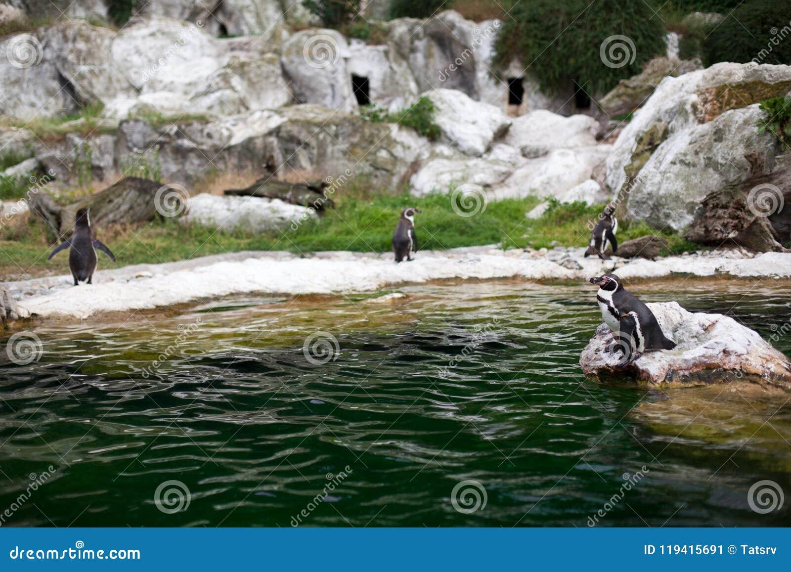 企鹅站立在石头的一个小组在晴天临近水 在动物园里拍摄的照片