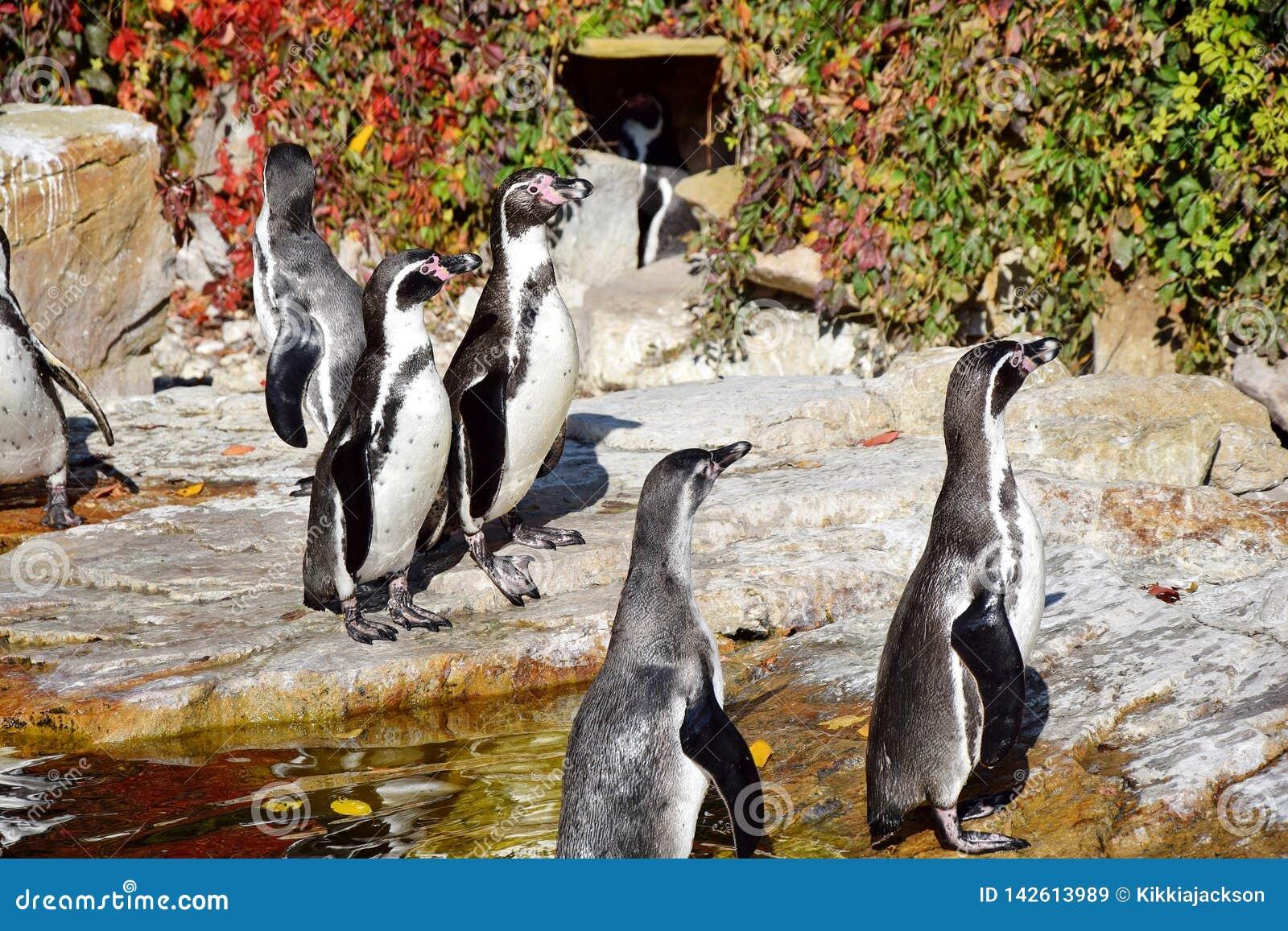 企鹅蠢企鹅Humboldti群