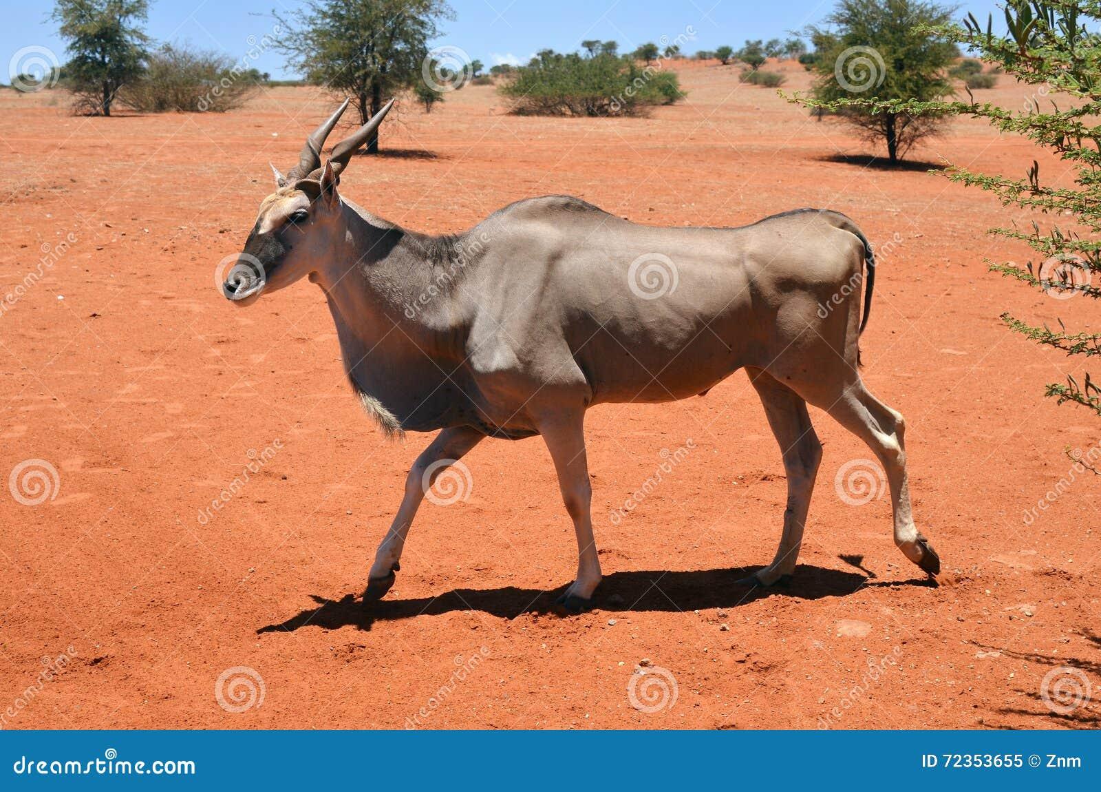 伊兰羚羊在纳米比亚