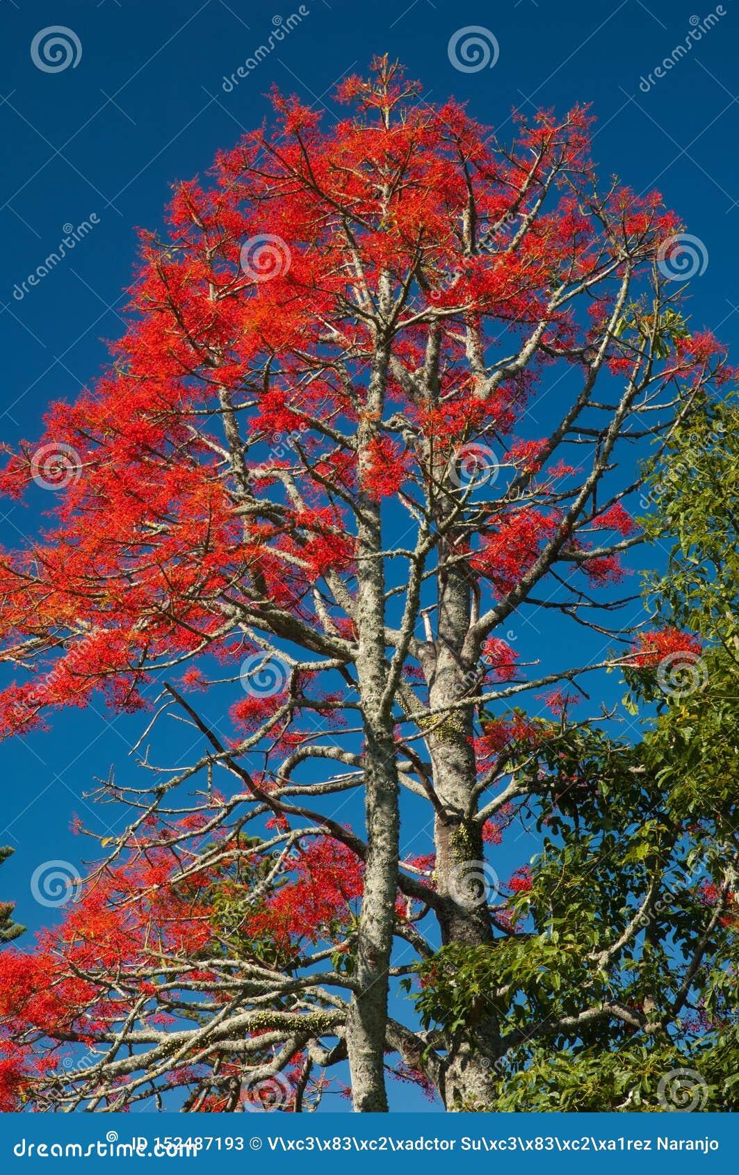 伊拉瓦拉槭叶瓶木短石鳖acerifolium