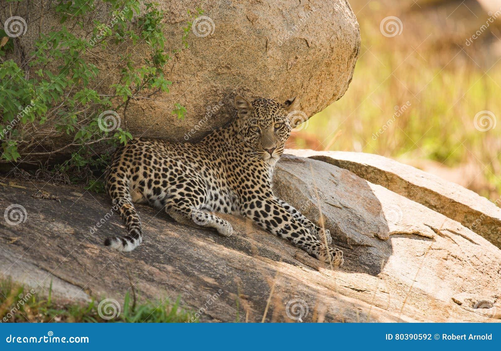 休息在塞伦盖蒂n的一个大岩石附近的豹子