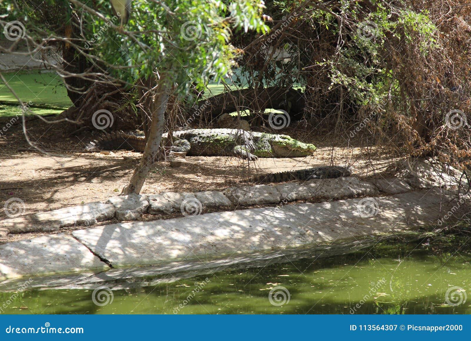 休息在水附近的沼泽鳄鱼