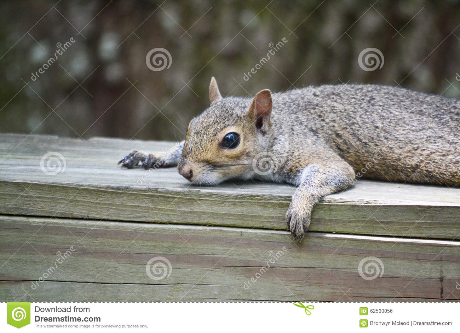 休息的灰鼠
