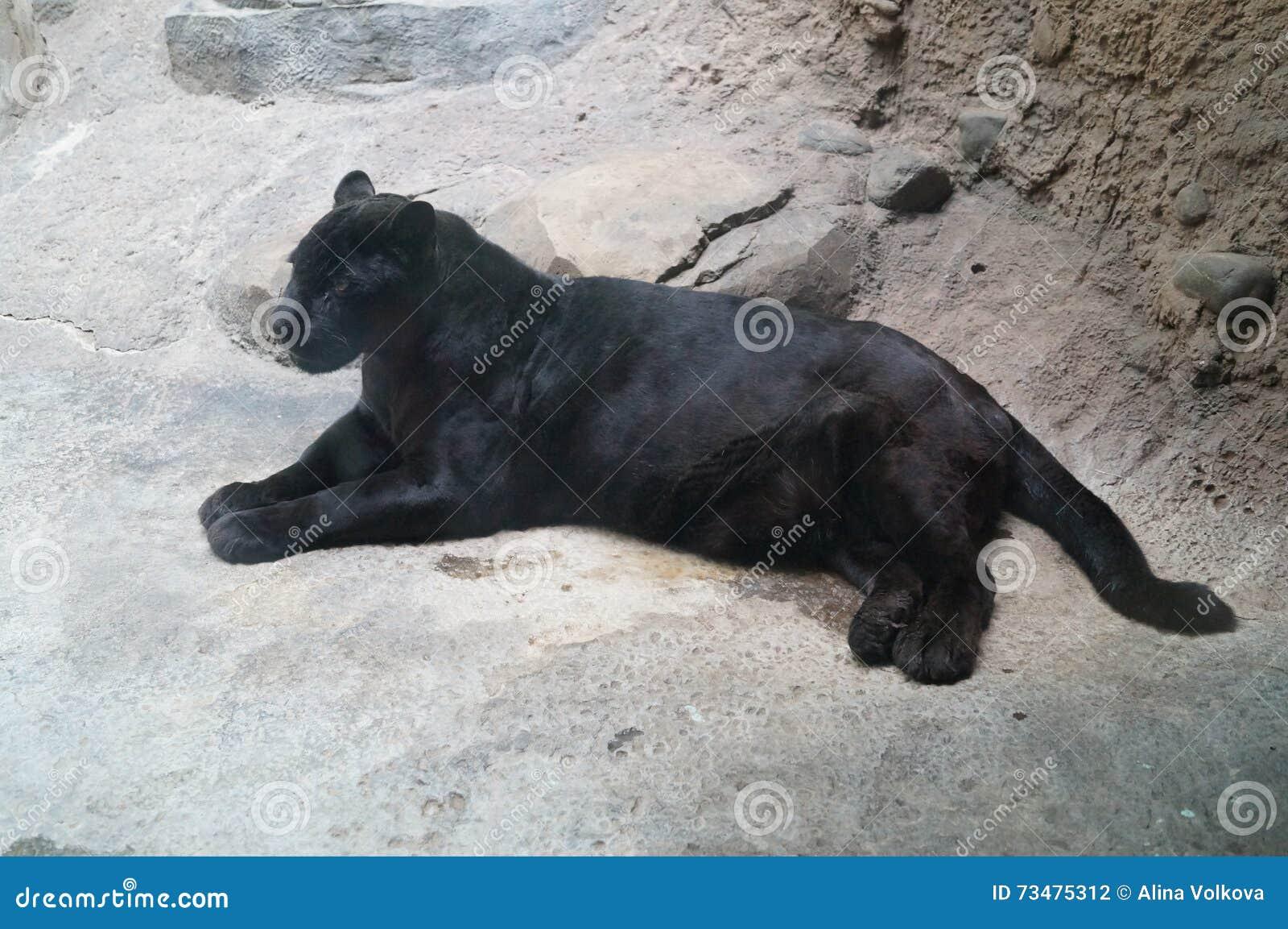 优美的黑豹子-豹美丽的照片