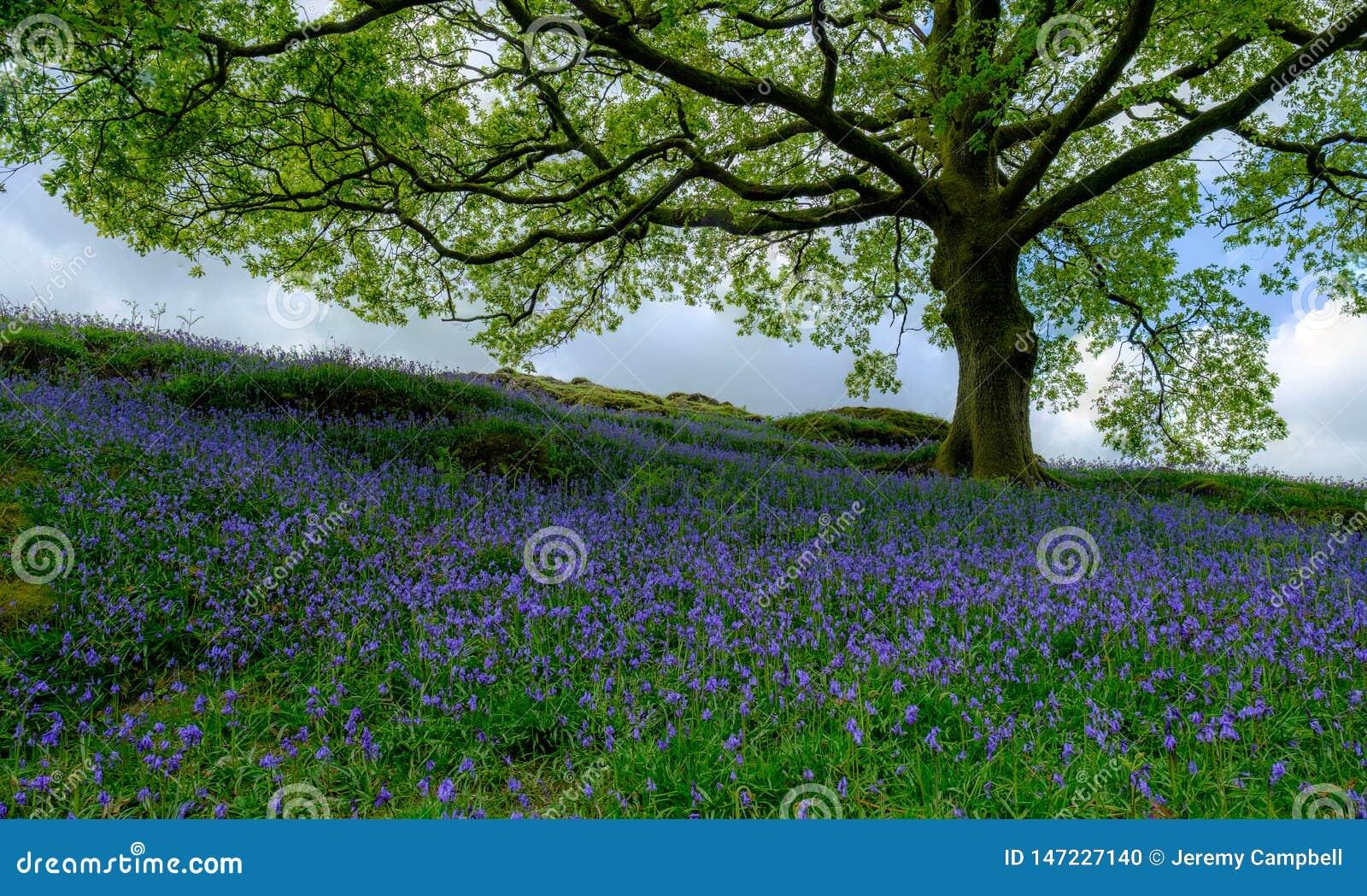 会开蓝色钟形花的草在橡树下
