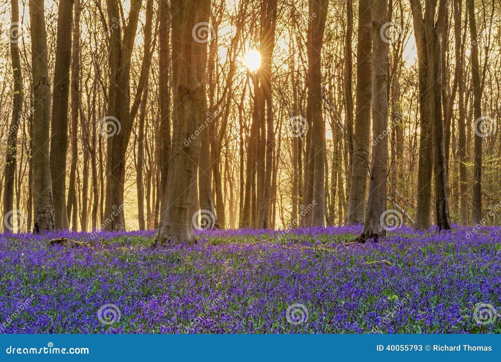 会开蓝色钟形花的草森林地日出