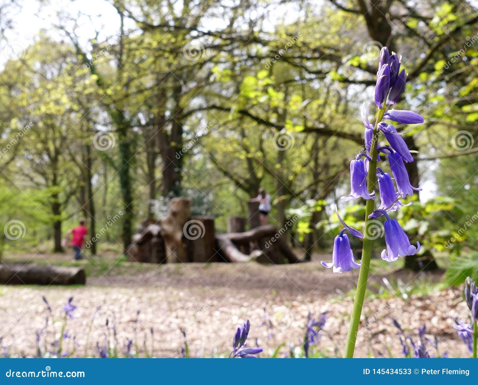 会开蓝色钟形花的草特写镜头有被弄脏的自然玩耍区域背景,Chorleywood共同性