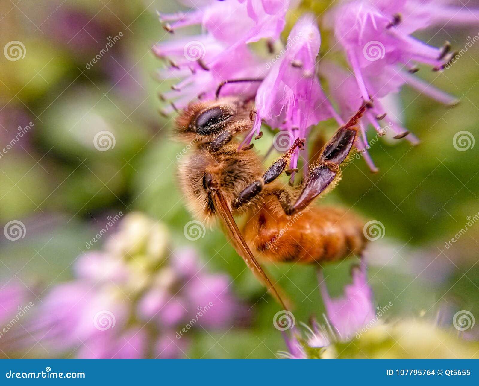 会集在紫色花的蜂蜜的蜂