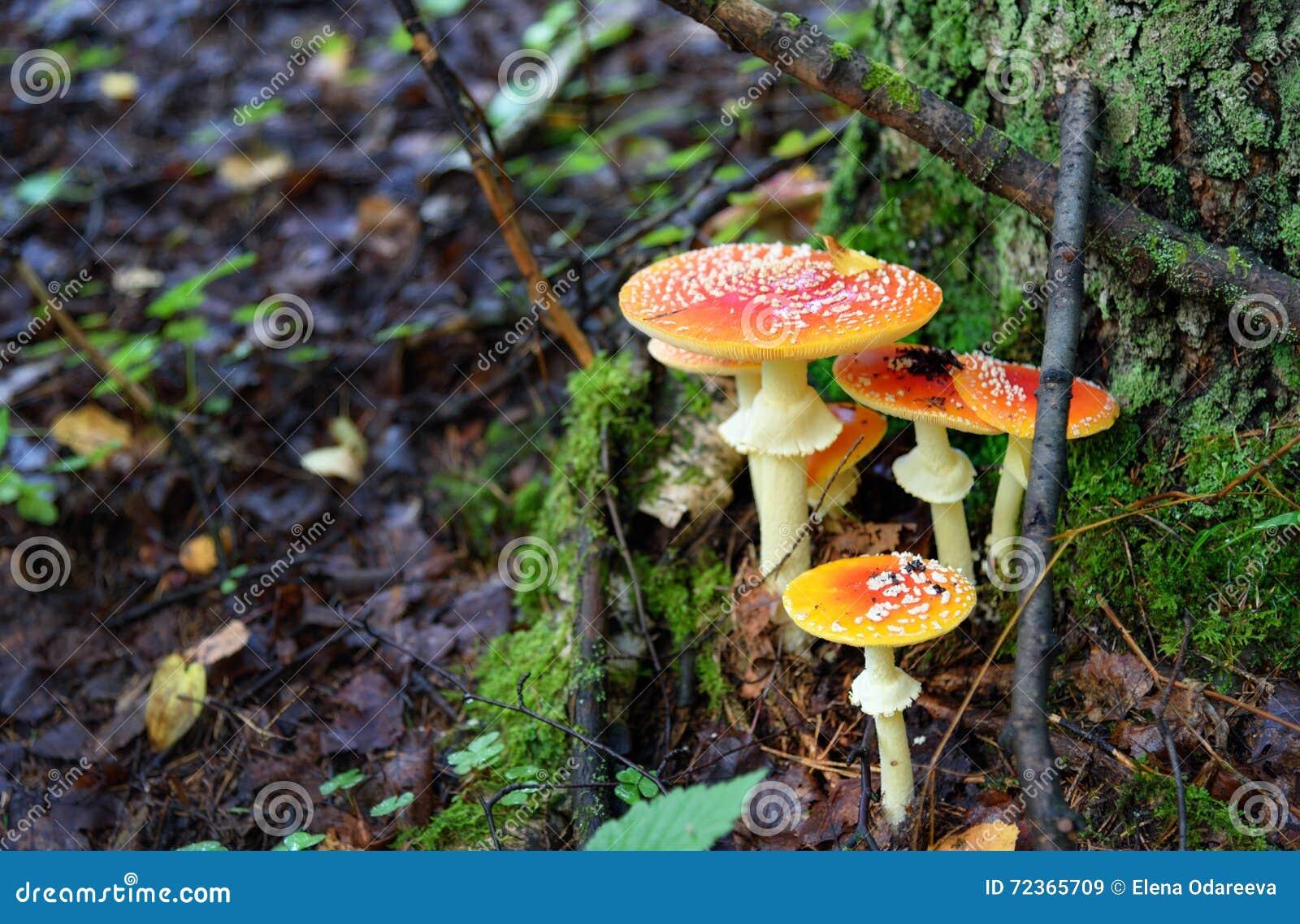 伞形毒蕈秋天危险muscaria蘑菇 红色毒蘑菇