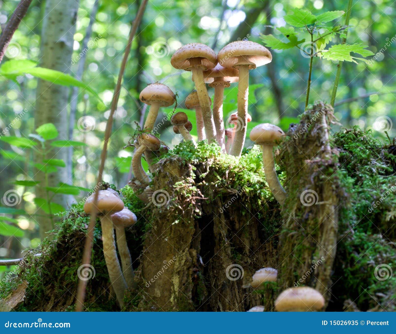 伞菌真菌蜂蜜树桩