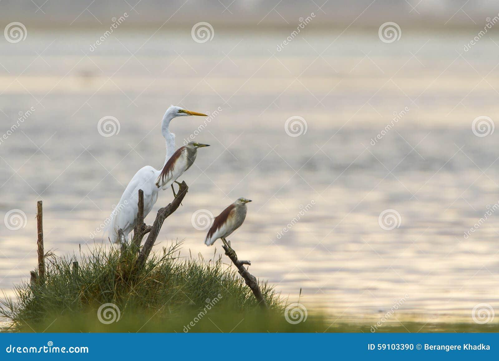 伟大的白鹭和印地安池塘苍鹭在Arugam海湾盐水湖,瘦的Sri