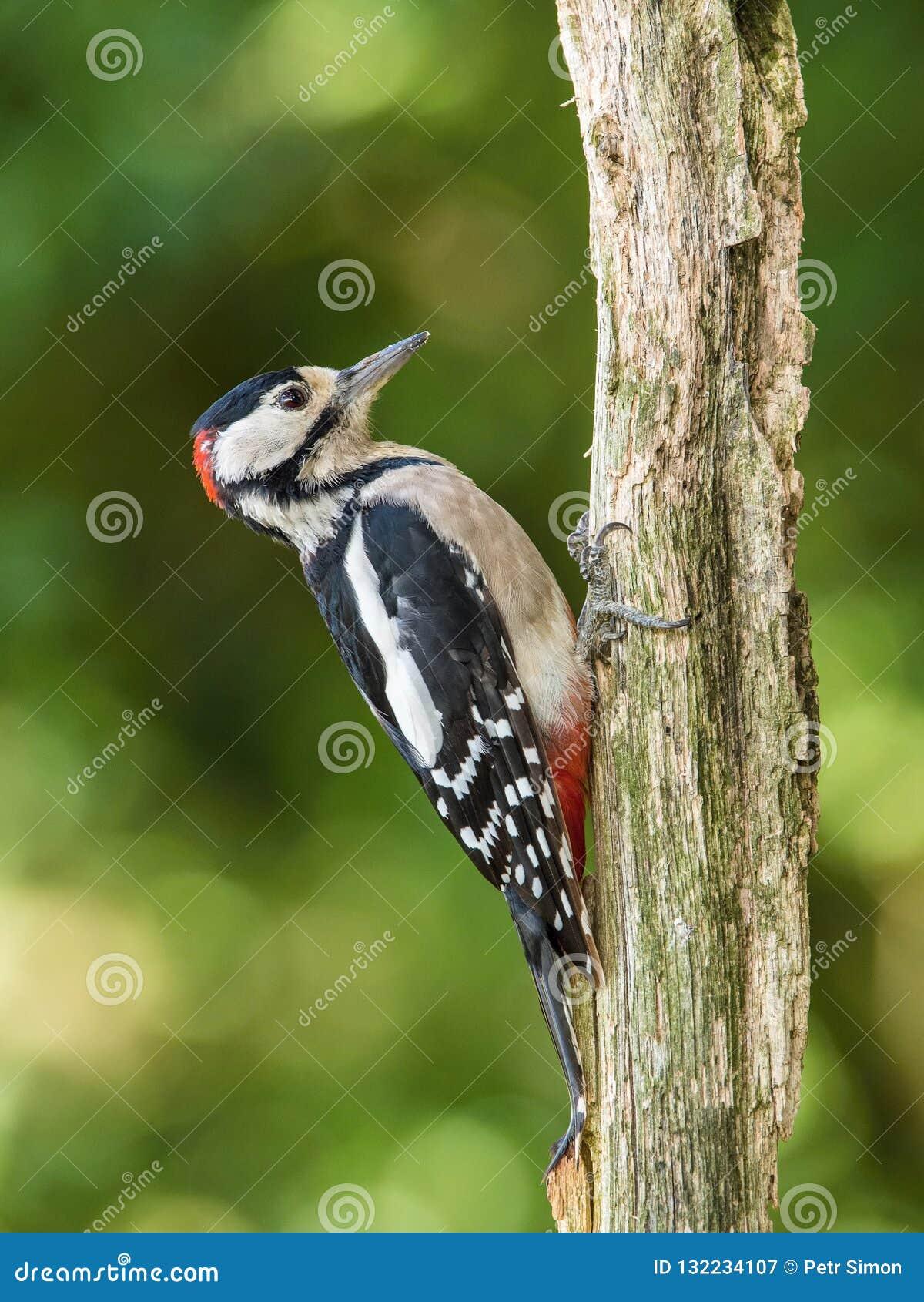 伟大的被察觉的啄木鸟,主要的Dendrocopos坐树分支