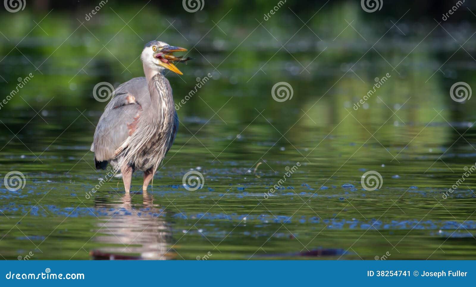 伟大蓝色的苍鹭的巢在软的焦点的吃一条鱼