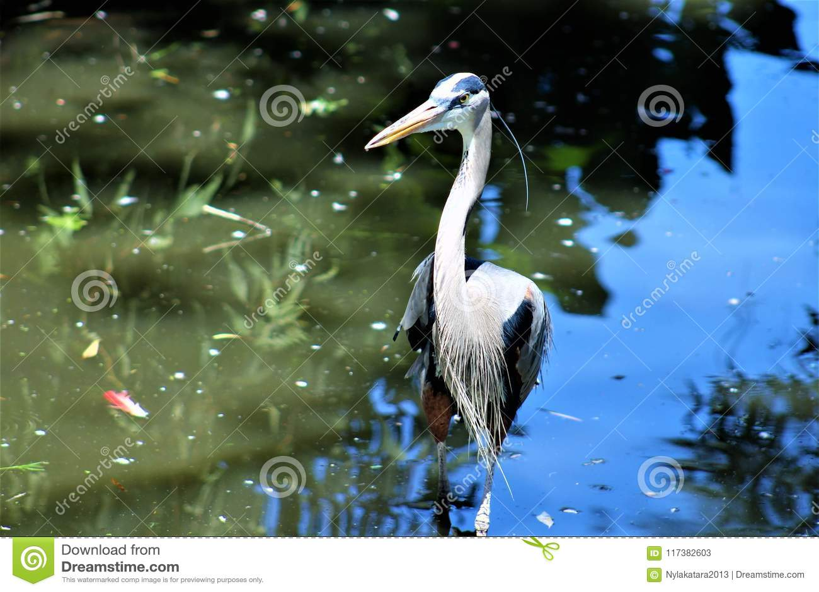 伟大蓝色的苍鹭的巢大涉水鸟