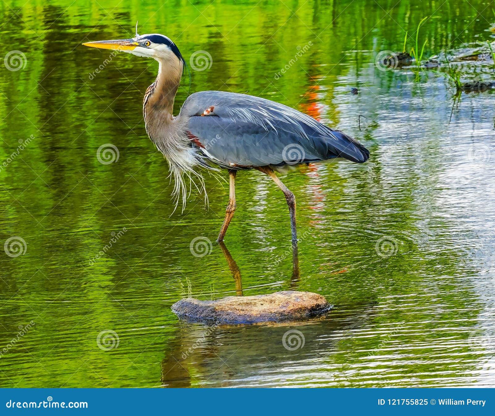 伟大蓝色的苍鹭的巢池塘Vanier公园温哥华不列颠哥伦比亚省加拿大