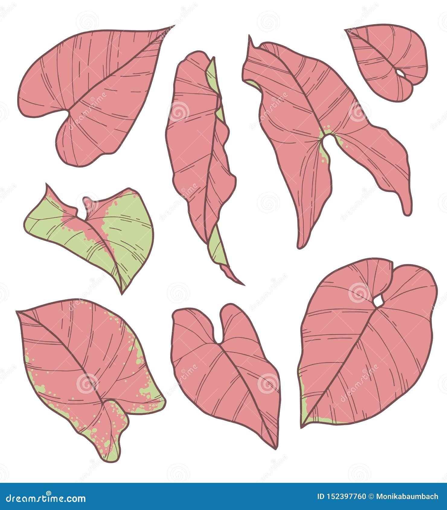 传染媒介汇集套室内植物鬼臼属桃红色霓虹饱满的厂叶子图画