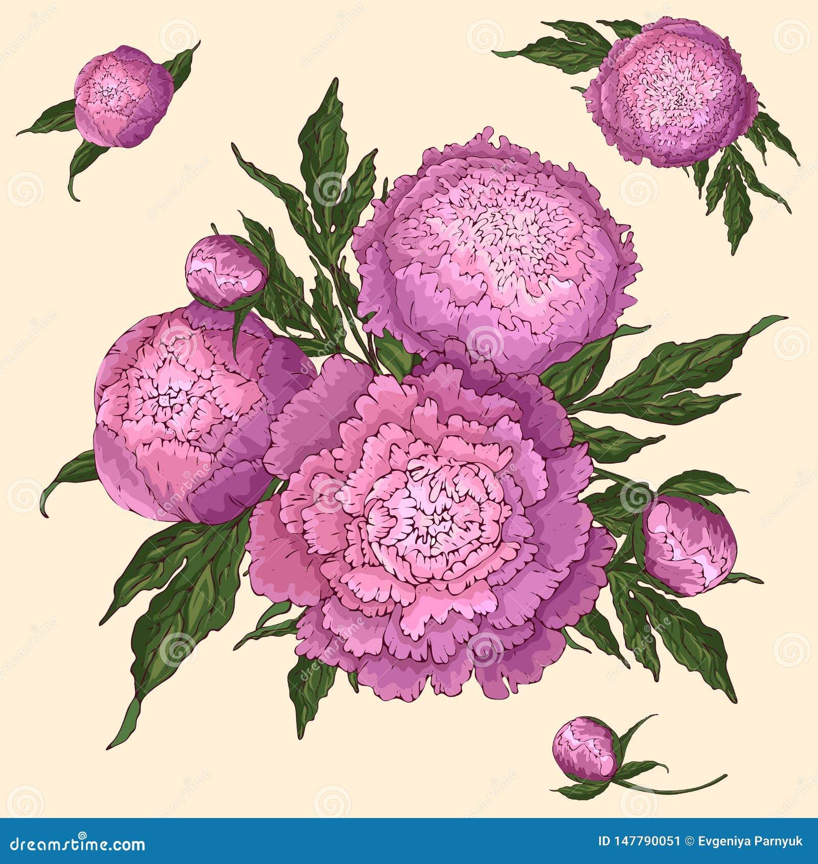 传染媒介牡丹 设置被隔绝的桃红色丁香花