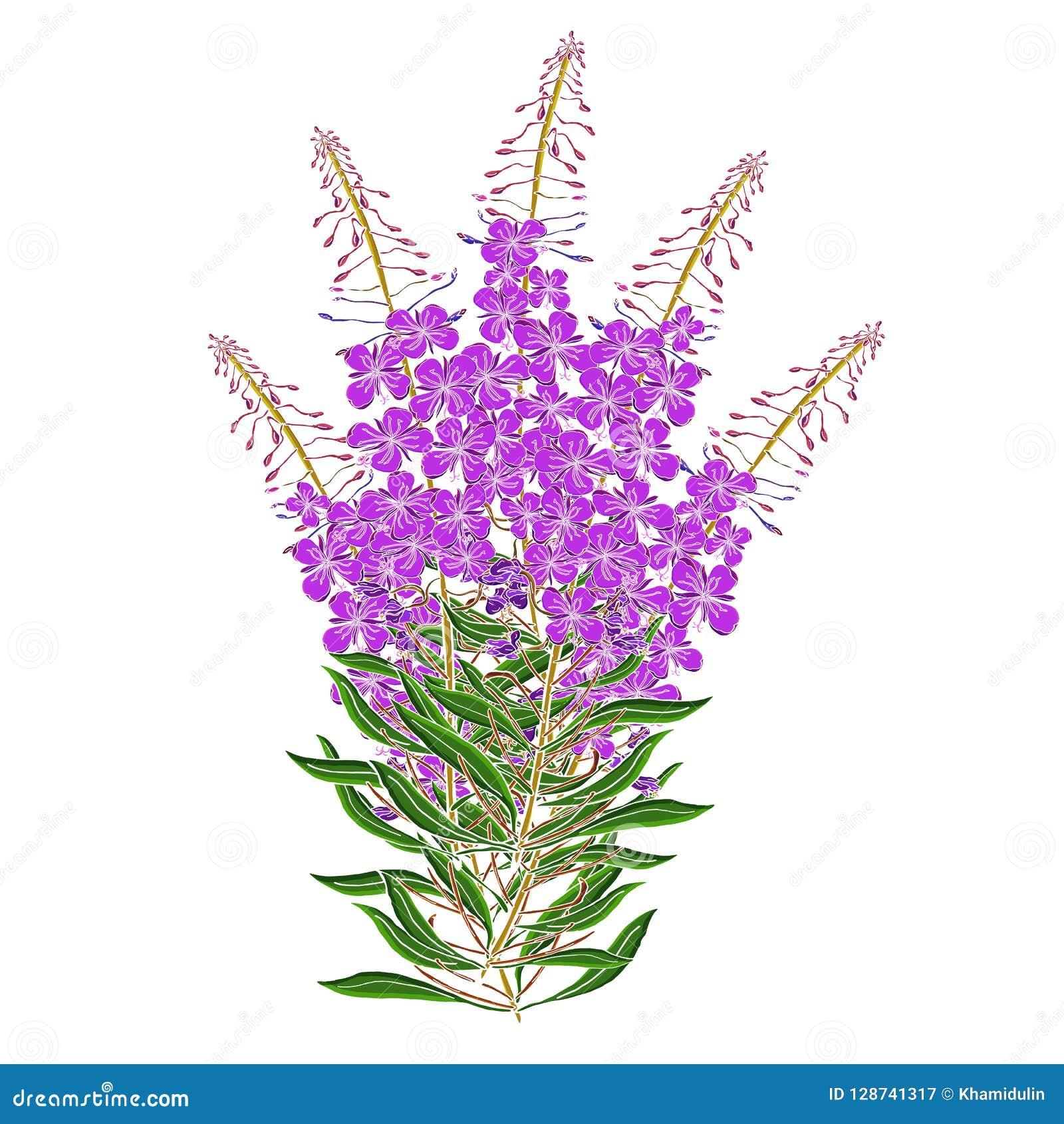 传染媒介Chamerion Angostyfolium花花束  健康和自然医疗植物和茶草本,为自然完善和