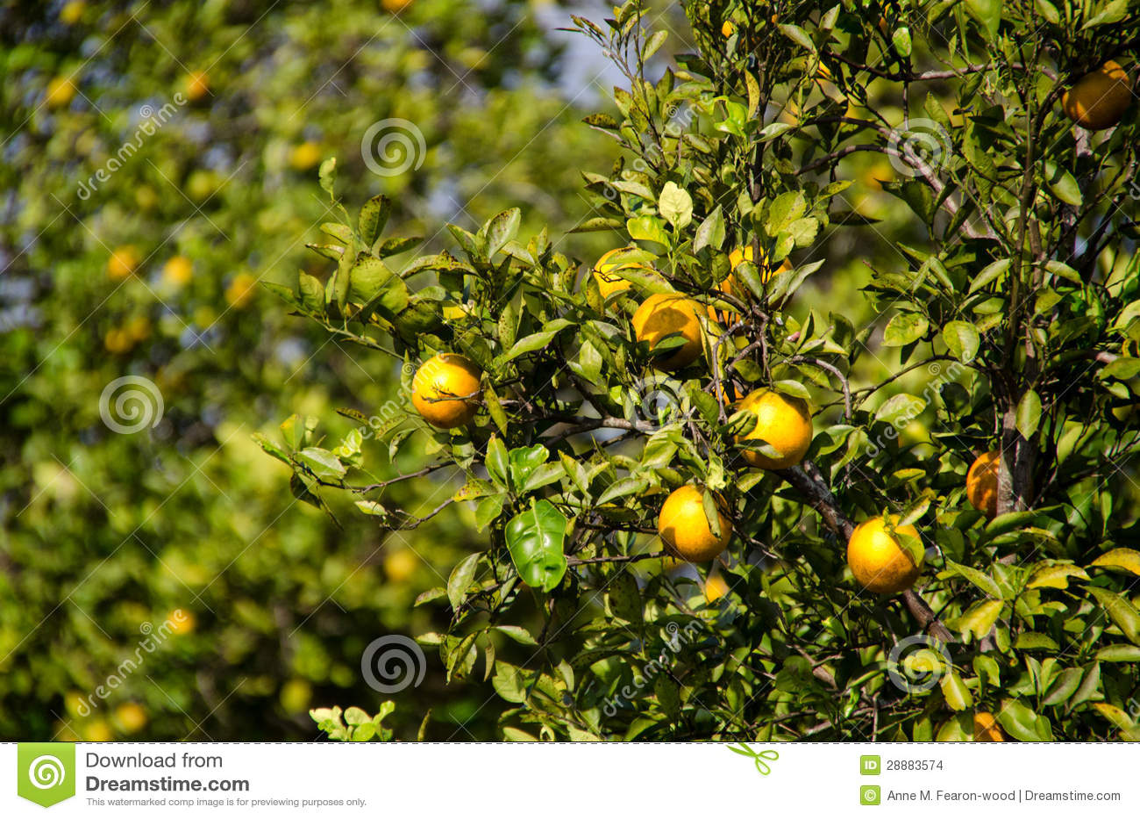 佛罗里达桔子树丛