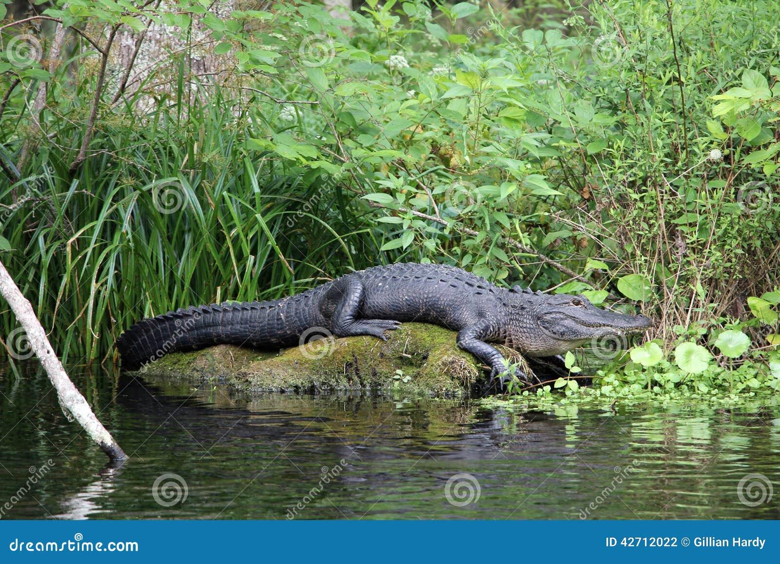 佛罗里达鳄鱼