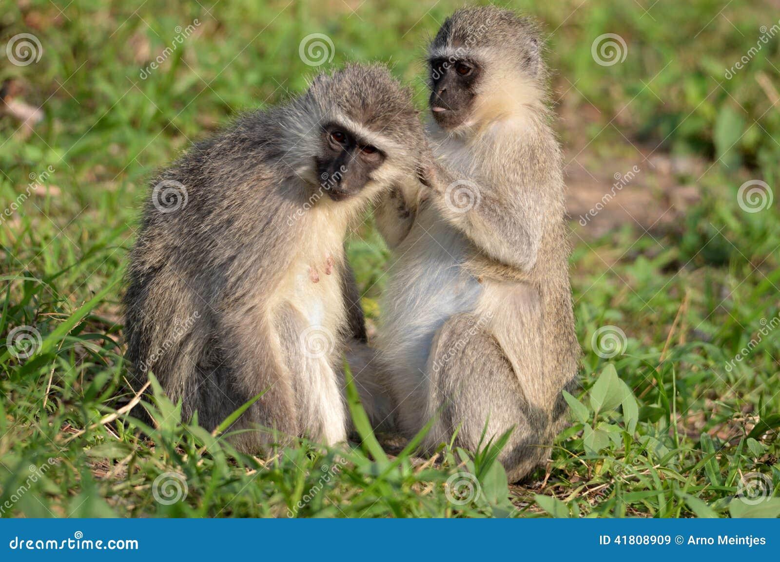 作为猕猴科chlorocebus系列已知的猴子当地老pygerythrus的非洲完全有时对vervet世界