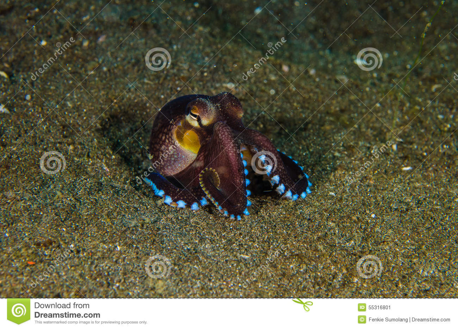 佩戴水肺的潜水章鱼lembeh海峡水下的印度尼西亚