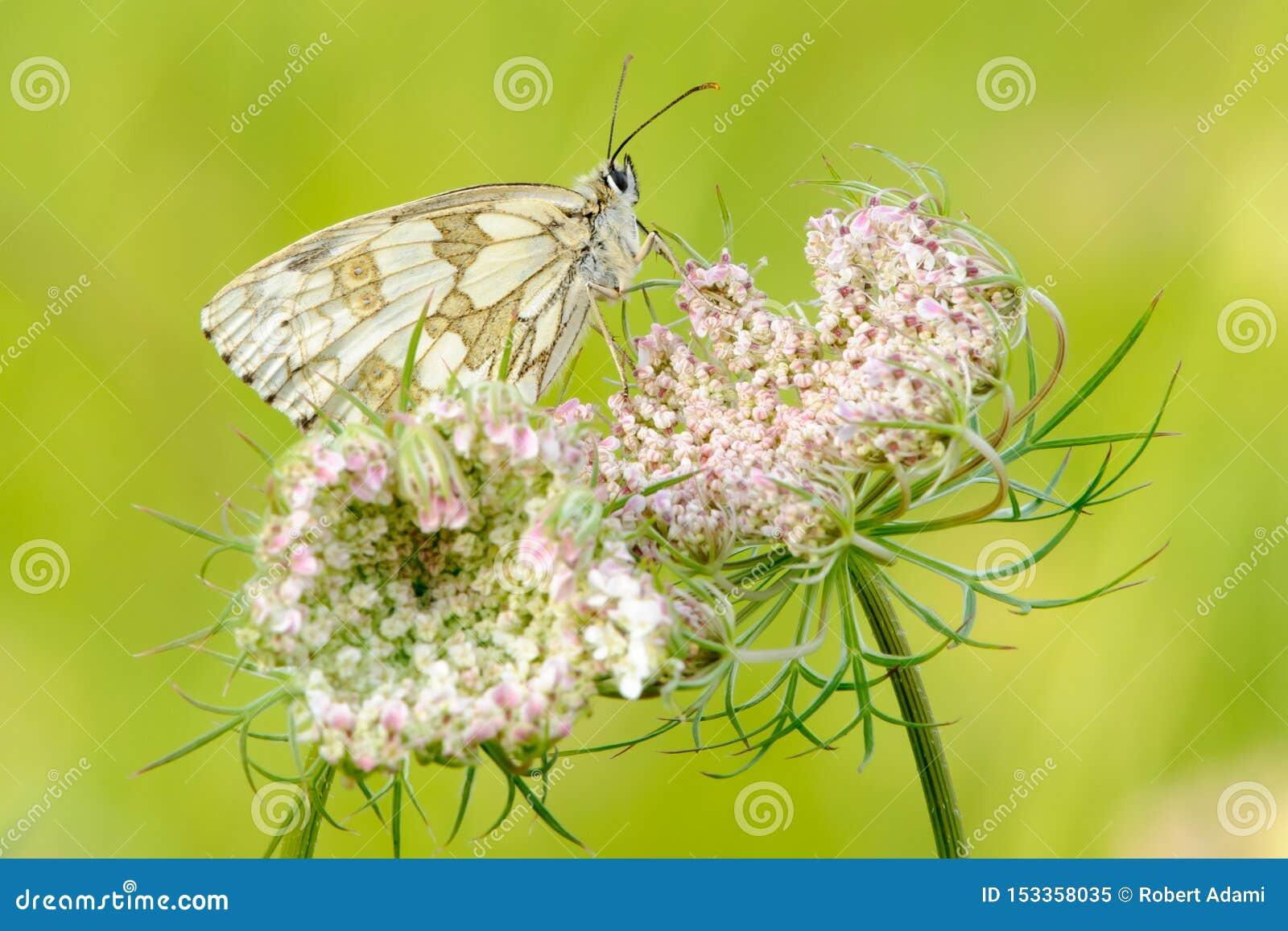 使有大理石花纹的白色蝴蝶坐花特写镜头