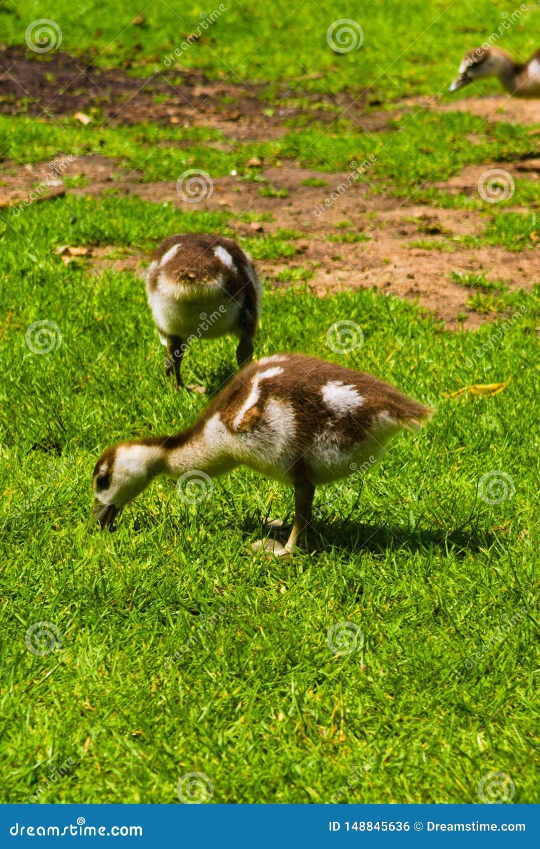 使用在公园的新生儿鸭子