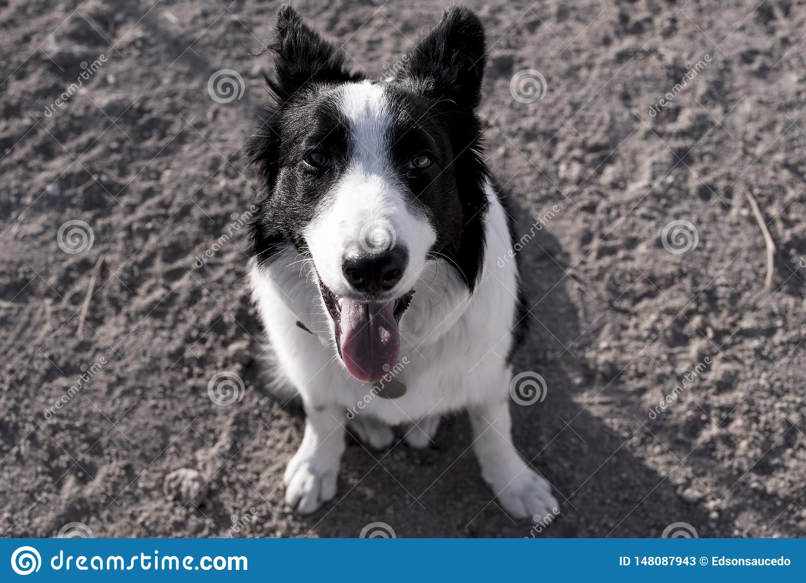使用在小山的博德牧羊犬的画象