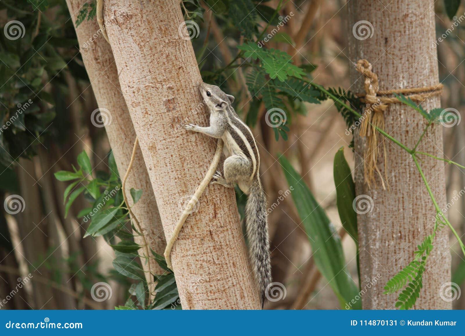 使用在树的灰鼠