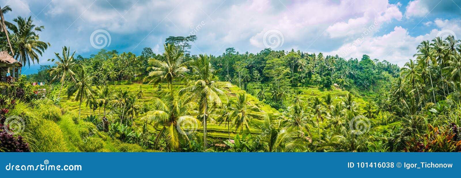 使Tegalalang米用可可椰子树和多云天空报道的大阳台领域惊奇宽射击, Ubud,巴厘岛,印度尼西亚