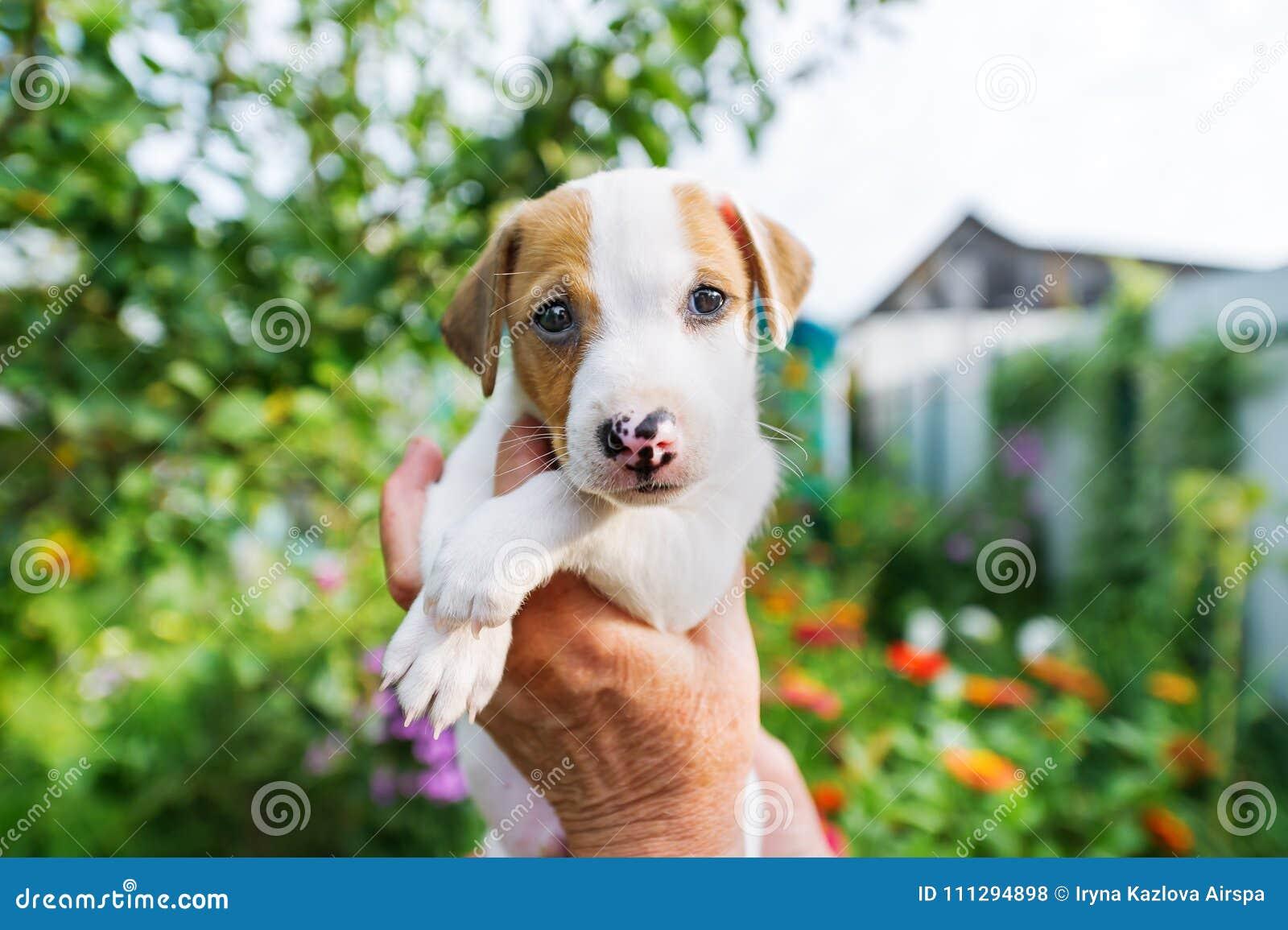供以人员拿着逗人喜爱的小狗杰克罗素在手上户外