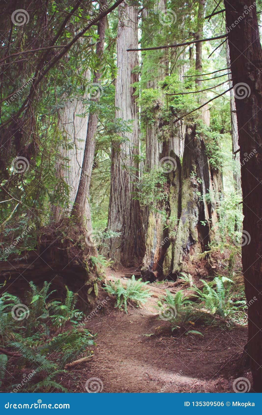 供徒步旅行的小道通过原始林森林在红木国立公园在加利福尼亚