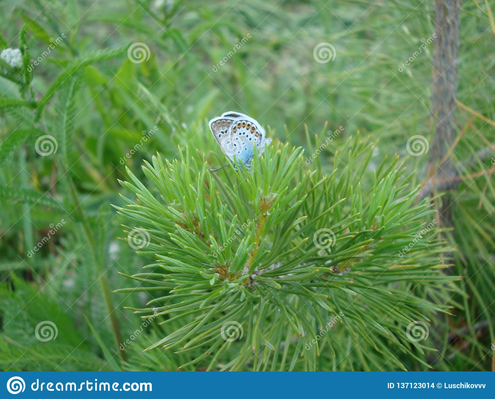 俄国名字'蝴蝶'来自老斯拉夫的词'巴布卡'表示'老妇人'或'祖母的'概念 在beli