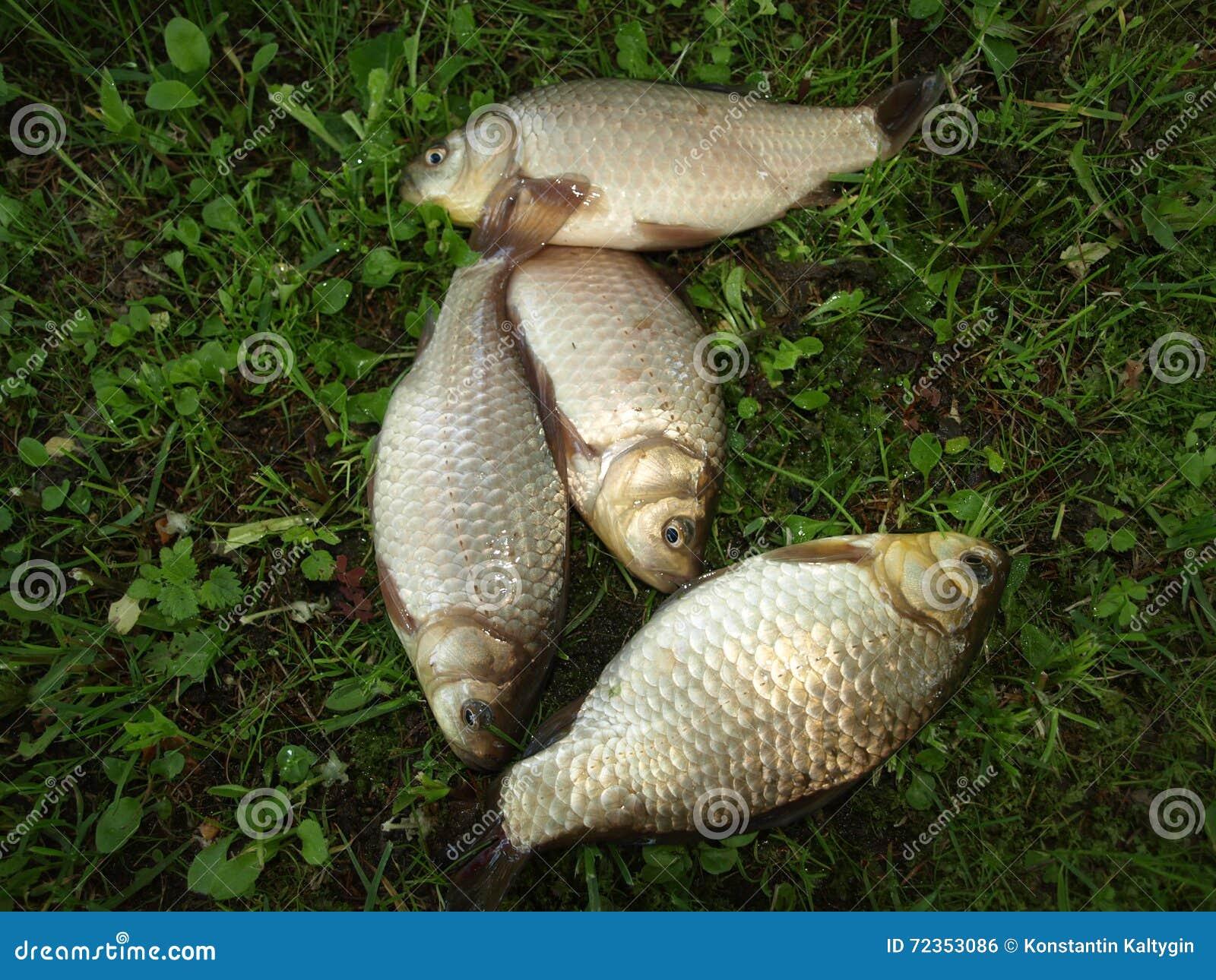 从俄国池塘的鱼鲤鱼