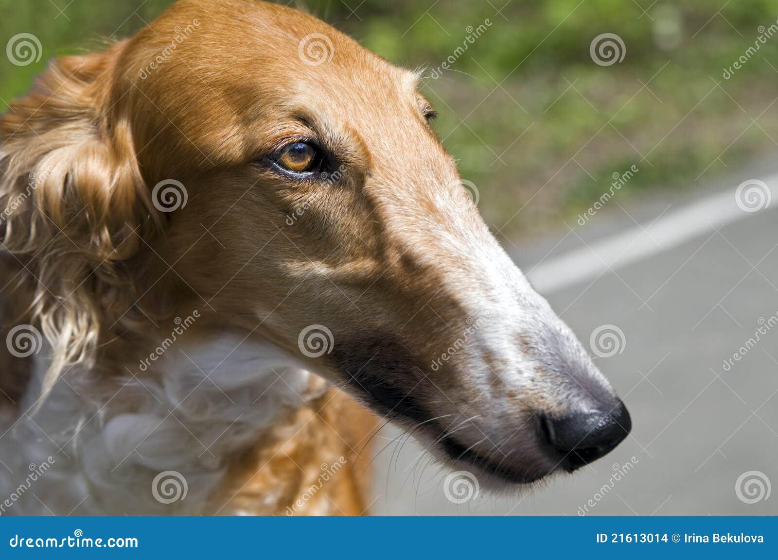 俄罗斯猎狼犬_猎狼犬_爱尔兰猎狼犬