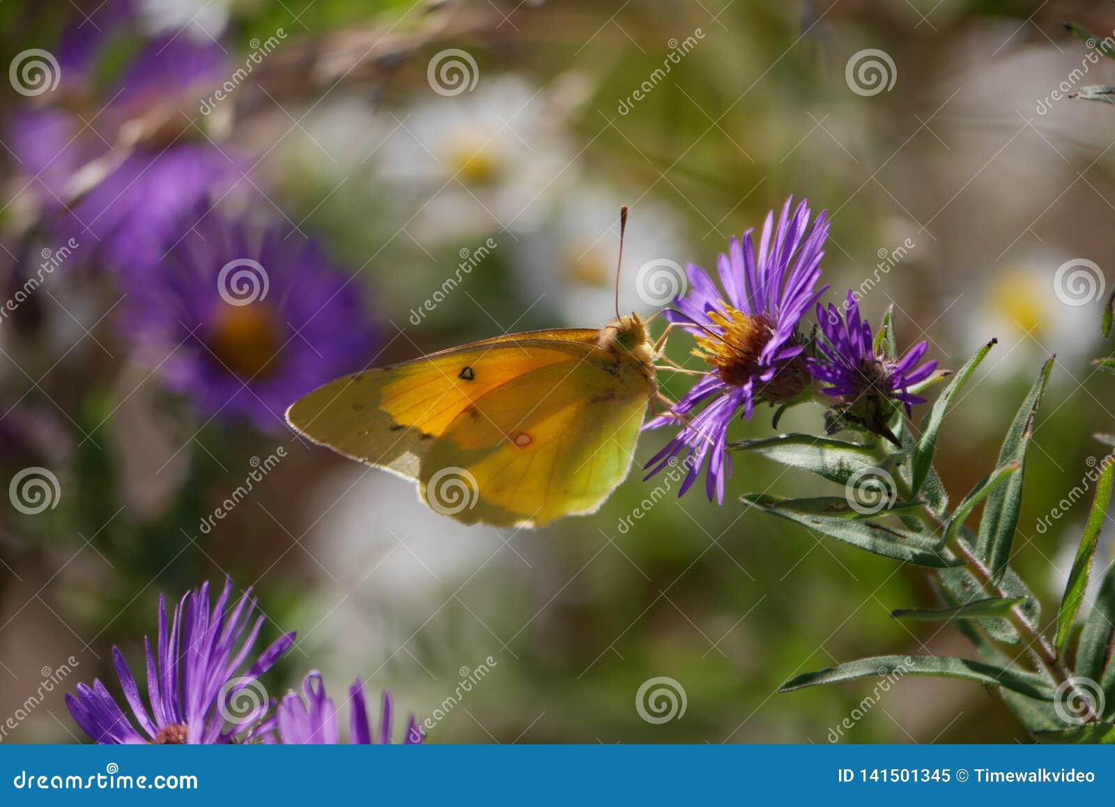 俏丽的黄色蝴蝶特写镜头在紫色野花的