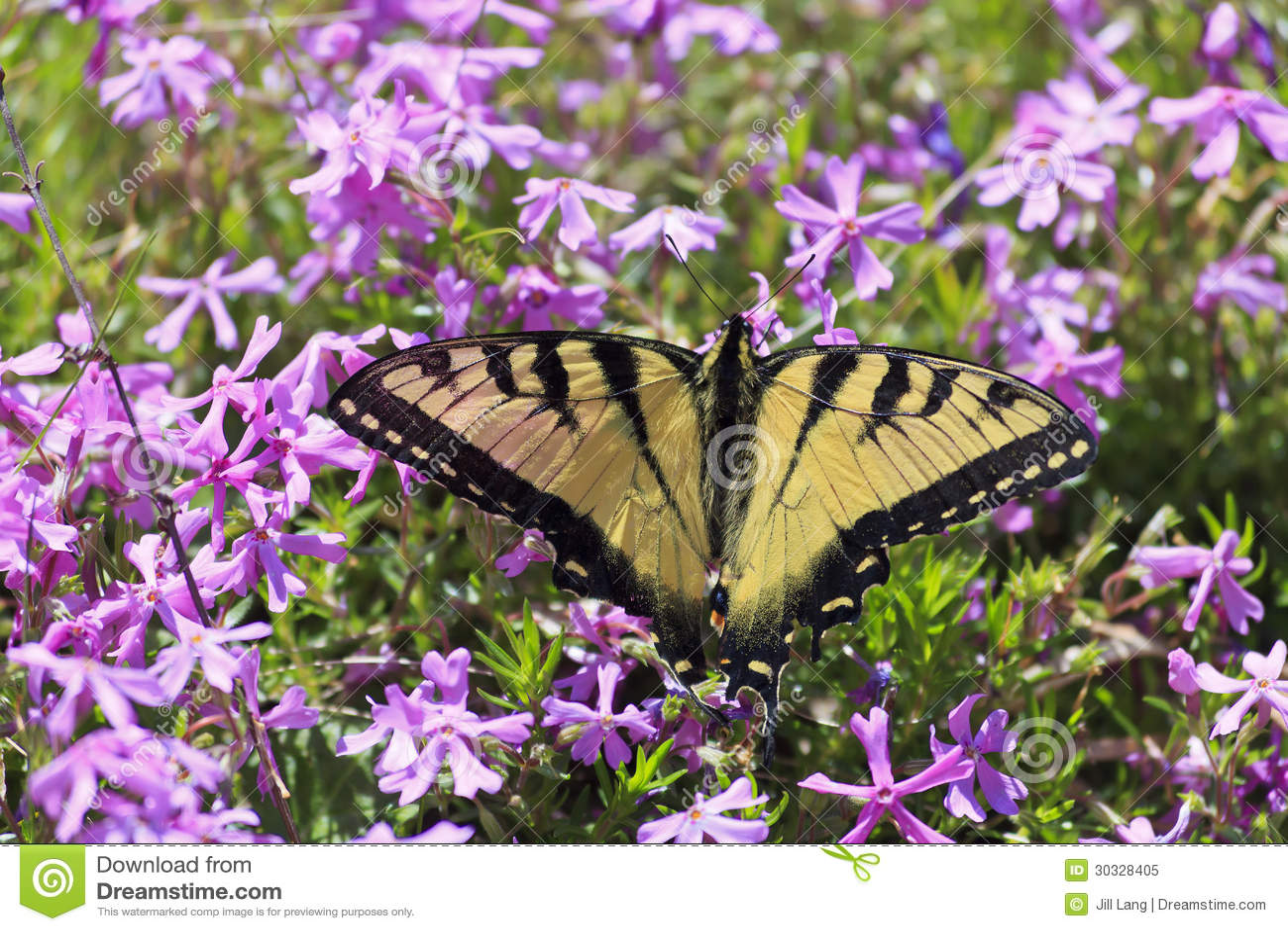 俏丽的蝴蝶和紫色Pholx