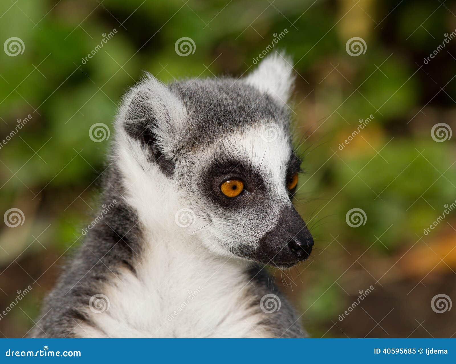 俘虏catta cincinatti辛辛那提狐猴俄亥俄纵向尾部有环纹的美国动物园