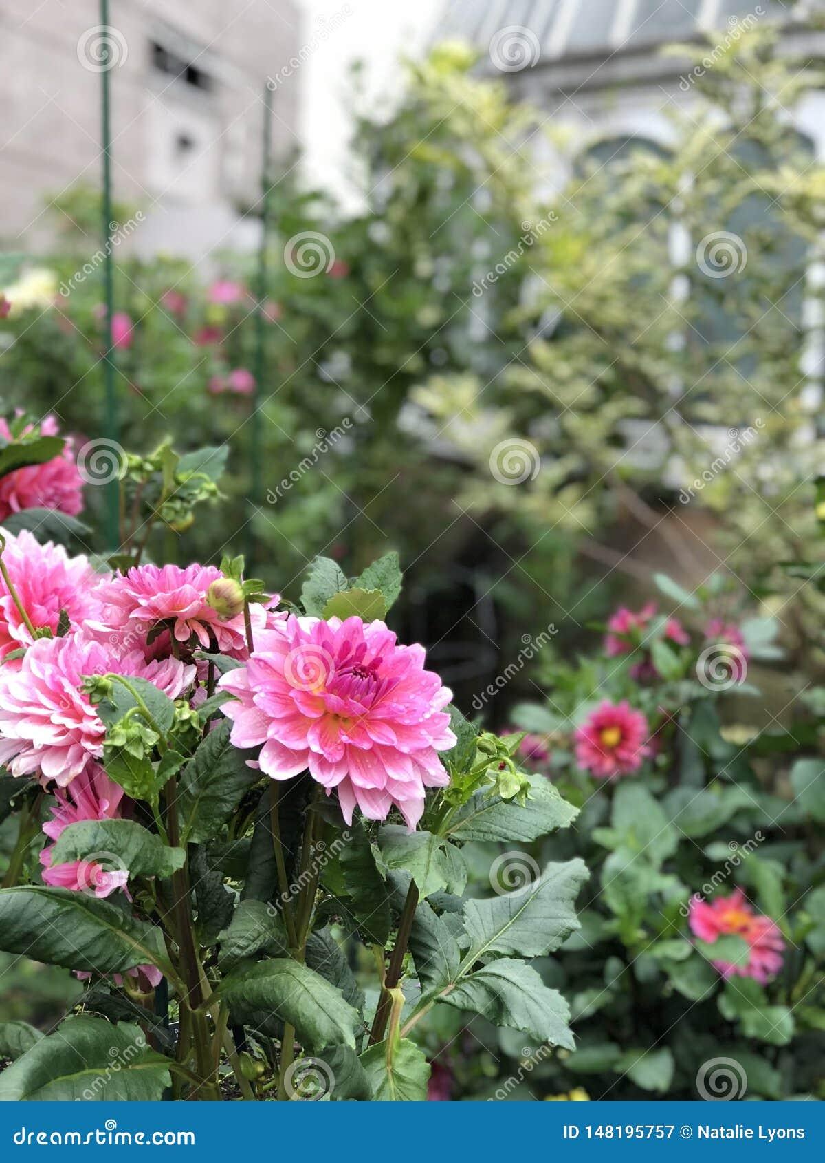 保存性植物园桃红色花