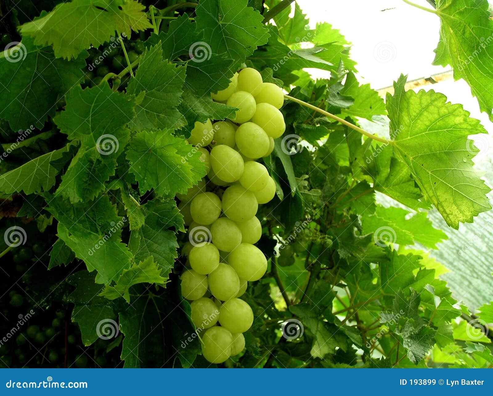 保存性葡萄