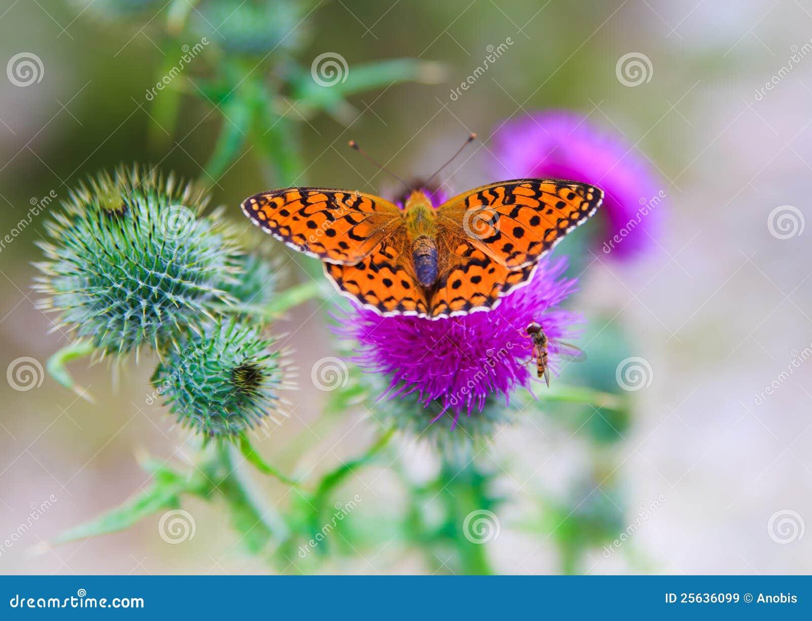 保持平衡的蝶粉花