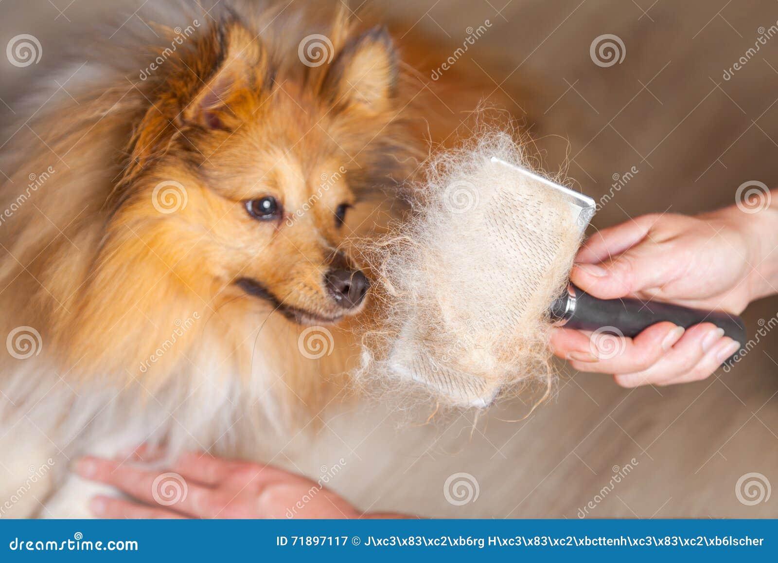 修饰与在设德蓝群岛牧羊犬的一把狗刷子