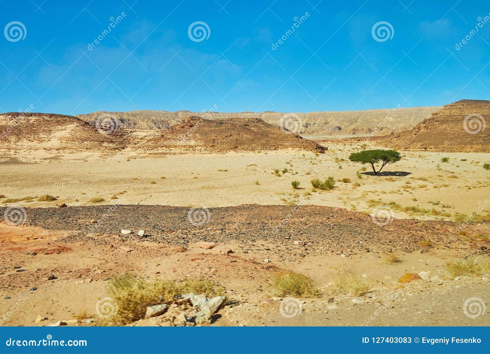 偏僻的金合欢树在西奈沙漠,埃及