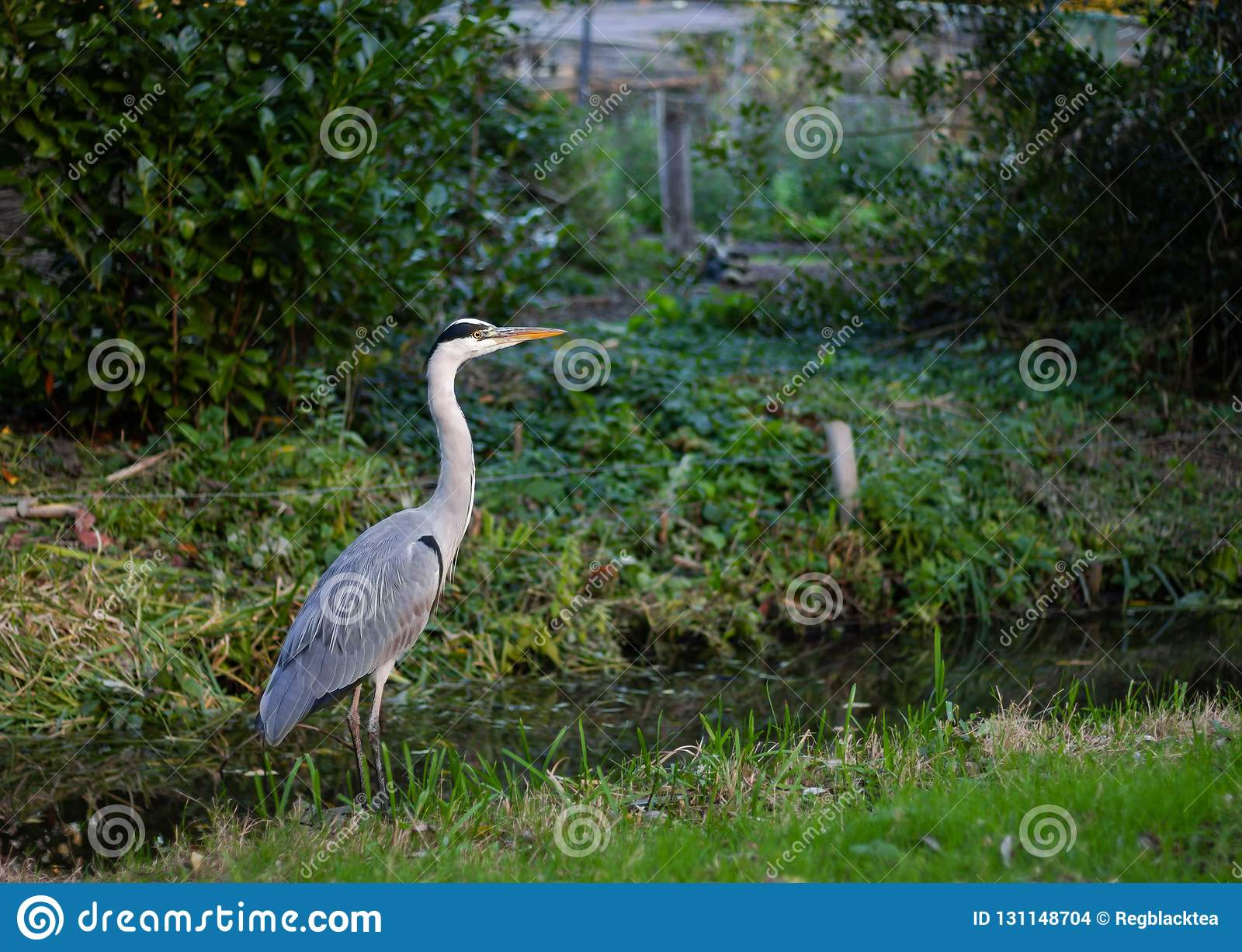 停留在运河旁边的灰色苍鹭