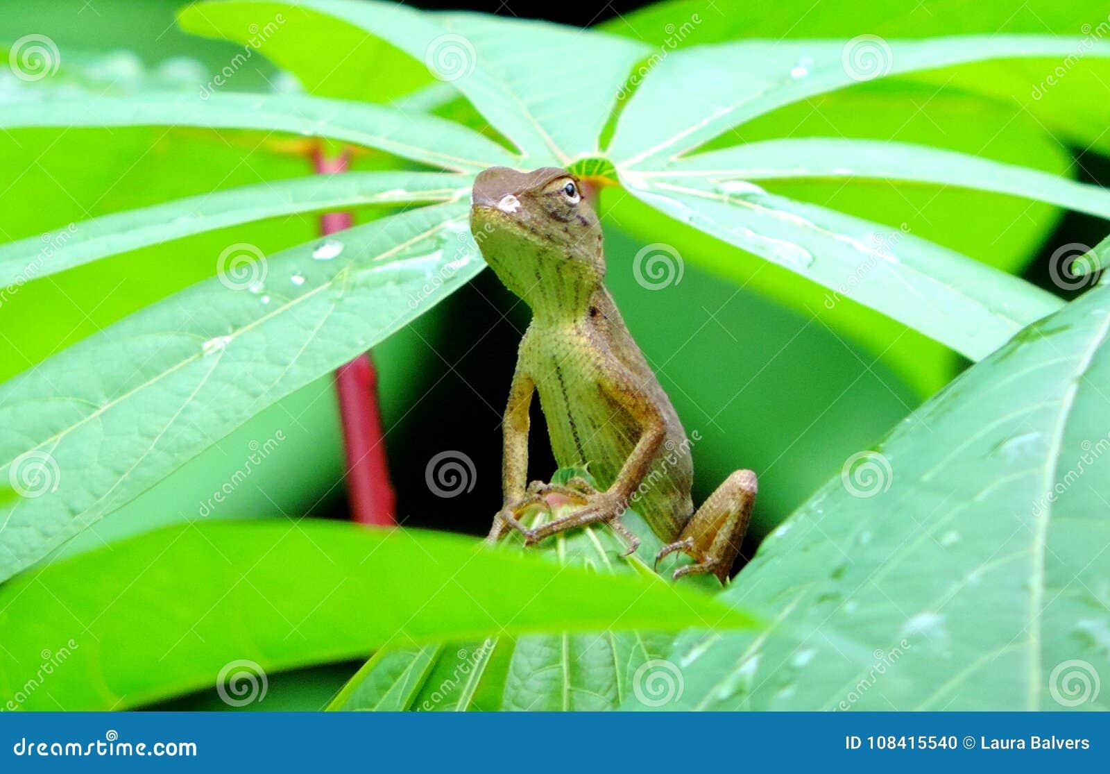 偷看出于植被的小的鬣鳞蜥或蜥蜴