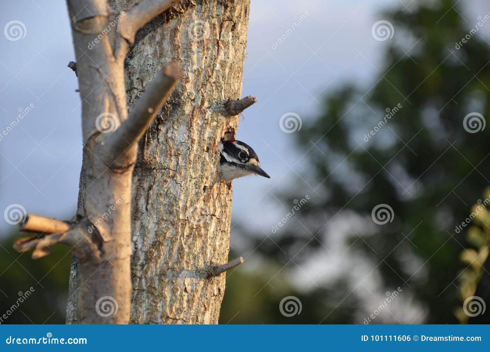 偷看在树巢外面的啄木鸟在佛罗里达