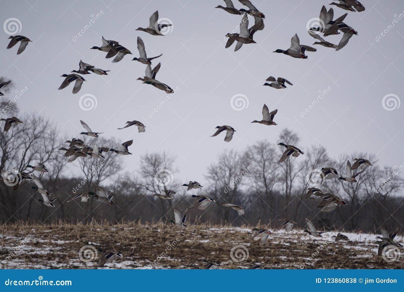 充分天空野鸭